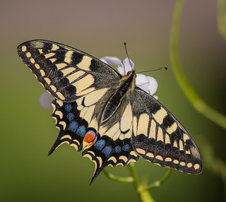 Swallowtail, Strumpshaw Fen RSPB, Norfolk.  DSC_3731.jpg