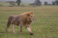 The Undisputed King (Ring a Ding Ding) Tags: 2017 africa bigcat entamanu lion ngorongorocrater nomad pantheraleo tanzania bigmane cat male mammal mane nature predator safari wildcat wildlife