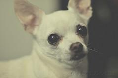 I'm Innocent, I Swear! (BluAlien) Tags: nikon d300 50mm 14 dog pet chihuahua matte