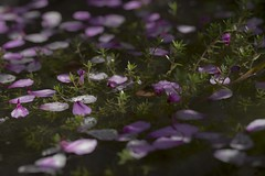 floating (Wendy:) Tags: pond petals floating pink