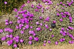 2017-06-18 Virginia Water Savill Gardens IMG_9097 (Darkstar Moody) Tags: virginiawater savillgardens plants flowers trees water ponds lakes wildlife gardens flora fauna