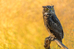 Great Horned Owl Juvi (just4memike) Tags: bird wildlife blurredbackground feather great horned owl raptor talon wing canon 5ds 500mm eye animal ef 500 f40 l is ii