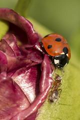 Face to Face (Karl's Gal) Tags: ladybug ant peony flower flowerbud red spring macro karlsgal