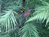 Wollemia Nobilis 16.06.2014. (NashiraExoticGarden) Tags: wollemianobilis exoticgarden exotentuin vogel bird 16062014