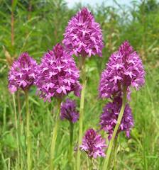 Pyramidal Orchid Anacamptis pyramidalis (ERIK THE CAT Struggling to keep up) Tags: wildflowers pyramidalorchid preesheath shropshire anacamptispyramidalis