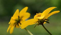 A Tiara Glow (Myk499 - Pure & Simple.) Tags: myk499nikond3300 closeup nature outdoor nikon1855mm flora flower plant macro