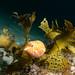 Eastern smooth boxfish - Anoplocapros inermis #marineexplorer