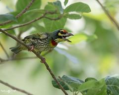 Coppersmith barbet (mathewindelhi) Tags: bird birdphotography indianbird india barbet green delhi d500 wildlife nature
