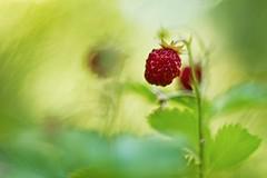 IMG_9005---oreston-50mm-f-1,8-à-f2---fraise-des-bois---web (Monique J.) Tags: fraisedesbois