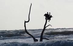 IMG_0617.1 (mikehogan2) Tags: padreisland nationalseashore texas pelicans birds sea waves