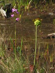 Grass Pink and Pitcher Plant in Bloom (magarell) Tags: flower wildflower orchid grasspink calopogontuberosus purplepitcherplant sarraceniapurpurea webbsmillbog pinebarrens oceancounty nj