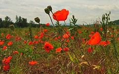 Poppy (kadege59) Tags: poppy stadtilm nature natur blumen flowers wow wonderfulnature landscape meadow wiese amapola خشخاش blossom colours amsterdam like red vacation summer digital