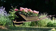 Mobile flowerbox (:Linda:) Tags: germany thuringia town hildburghausen flowerbox wheelbarrow rusty geranium pinkflower rust