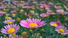 Monday (SmartFireCat) Tags: instagramapp square squareformat uploaded:by=instagram singapore fleur flower flor blum singapur gardens by bay singapura singapour macro pink rosa rose lumia microsoft 950 950xl petal pétalo petals pétalos