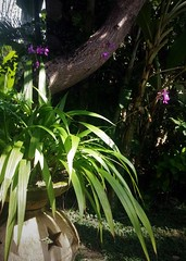 Orchid (scinta1) Tags: indonesia bali seminyak villa garden green peaceful tranquil restful tropical trees leaves flowers bohemian plants orchid flower purple shadows shade light