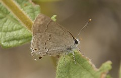 Garginia gnosia (Hewitson, 1868) (robertoguerra10) Tags: lycaenidae hair streak small brown pale marrom claro