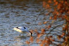反嘴鷸 Recurvirostra Avosetta (C. Alice) Tags: nature hongkong 2016 canonef300mmf4lisusm canoneos7d eos7d canon 300mm wetland water winter bird favorites30 favorites50