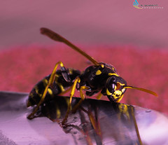 7 Days with flickr (ramonaschmitt) Tags: wasp wespe schwarz black gelb yellow 90mm tamron nikon d3300 insekt tier outdoor 7 days with flick