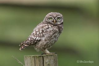 Little Owlet