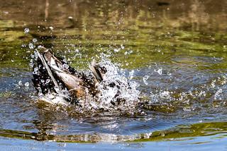 Eine Ente taucht ab