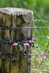 barbed wire and flowers (k_emerson62) Tags: flower barbed wire post nature