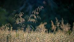 rogue grasses (Simon[L]) Tags: grass oats tall mirrorlens bokeh tamronadaptall 55bb 500mmf8 doughnuts donuts