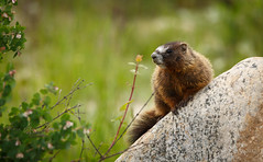 Marmot (scepdoll) Tags: pilgrimcreekroad grandtetonnationalpark wyoming marmots wildlife findyourpark marmot animal