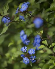 ceratostigma willmottianum forest blue (Wendy:) Tags: ceratostigma blue shrub july ceratostigmawillmottianumforestblue