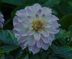 Dahlia (frankmh) Tags: plant flower dahlia sofierocastlegarden helsingborg skåne sweden outdoor macro