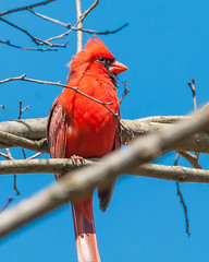 04102017-149-3+ (bjf41) Tags: cardinal northern re edit redo red bird tree