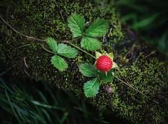 Small World (shutterbugbekkie) Tags: flower flowers red green moss mushroom snail macro