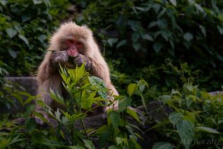 Snow monkey @ Jigokudani