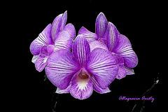 Orquídeas/Orchids/Orchidee (Altagracia Aristy Sánchez) Tags: orquídeas orchids orchidee laromana quisqueya repúblicadominicana dominicanrepublic caribe caribbean caraíbe antillas antilles trópico tropic américa fujifilmfinepixhs10 fujifinepixhs10 fujihs10 altagraciaaristy fondonegro blackbackground sfondonero