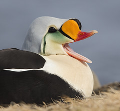 King Eider Head Open Bill Barrow AK June 2017 _E1U4894 Jun 2017 (www.sabrewingtours.com) Tags: barrow alaska arctic north frozen tundra bird brian zwiebel bz snt sabrewing nature tours photography photo tour king eider drake waterfowl duck yawn open bill laugh tongue
