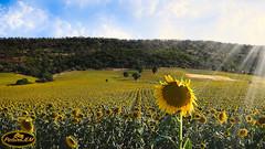 Campo de Girasoles 2 (PictureJem) Tags: landscape girasoles flor flower
