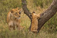 Lions of Maasai Kopjes 406 (Grete Howard) Tags: bestsafarioperator bestsafaricompany africa africansafari africanbush africananimals whichsafaricompany whichsafarioperator tanzania serengeti animals animalsofafrica animalphotos lions lioncubs maasaikopjes kopjes kopje