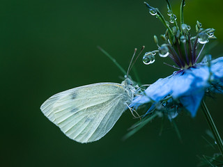 koolwitje - Cabbage butterfly   - Kohl-Schmetterling