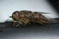 Horsefly (Tabanus autumnalis, m) (The LakeSide) Tags: insect macro nikon r1c1 d7100 netherlands fly horsefly tabanus autumnalis