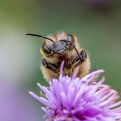 HoneyBee-0005.jpg (vorneo) Tags: classinsecta honeybee kingdomanimalia europeanhoneybee bee familyapidae wild westernhoneybee genusapis phylumarthropoda speciesamellifera binomialnameapismellifera orderhymenoptera