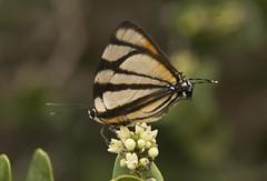 Panthiades phaleros (Linnaeus, 1767) (robertoguerra10) Tags: panthiades phaleros lycaenidae butterflies borboletas mariposas america sul south brazil brasil northeast nordeste