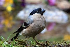 Ciuffolotto (silvano fabris) Tags: wildlife photonature nature animals animali birds uccelli ciuffolotto