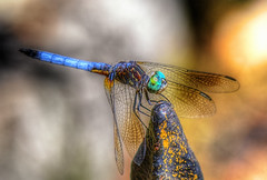 Dragon Fly (macnetdaemon) Tags: outdoor outside nature bug macro dragon fly blue beautiful bokeh canon 7d markii