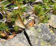 Chipmunk (careth@2012) Tags: chipmunk nature wildlife fur britishcolumbia manningpark manningprovincialpark
