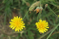 Dandelions (Suresh /R) Tags: nature flower dandelion dandelions yellow