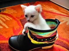 Soraya (almresi1) Tags: cat katze gato schuh shoe kitten baby