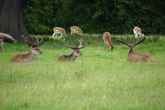 Fountains Abbey and Studley Royal Water Garden (135) (Twonkyface) Tags: fountains abbey studley royal gardens deer
