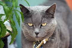 I'm watching you (katjacarmel) Tags: cat kat gato chat animal dier portrait nature outside eyes colors poes