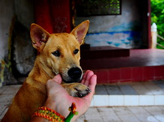 ,, Mama ,, (Jon in Thailand) Tags: mama k9 dog jungle spirithouse themonkeytemple red green yellow blue dogears dogeyes dognose dogpaws hand redfloortile whitefloortile nikon nikkor d300 175528 happydog thequeenofthejungle mold happyeyes littledoglaughedstories