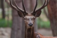 cerf-0016 (philph0t0) Tags: cerfélaphe cervuselaphus cerf élaphe cervus elaphus stag reddeer red deer 12cors