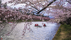 FXT24245 (kevinegng) Tags: japan aomoriprefecture hirosaki hirosakicastlepark sakura cherryblossom 日本 青森県 弘前市 弘前公園 moat river rowingboats boats
